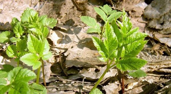 Сныть - злостный сорняк и лекарственное растение