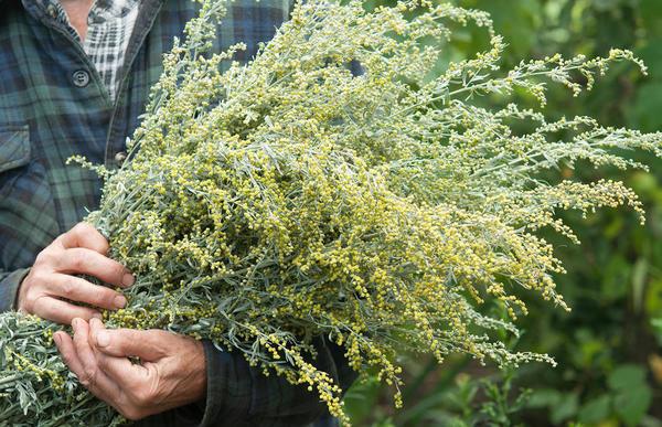 Траву полыни горькой заготавливают во время цветения