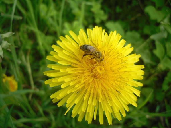Сад наполнен деловитым жужжанием - пчелы за работой