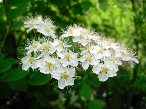 Белоснежные спиреи цветут, привлекая пчел и шмелей