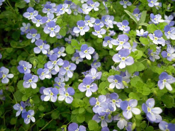 Бело-голубой коврик цветущей вероники нитчатой