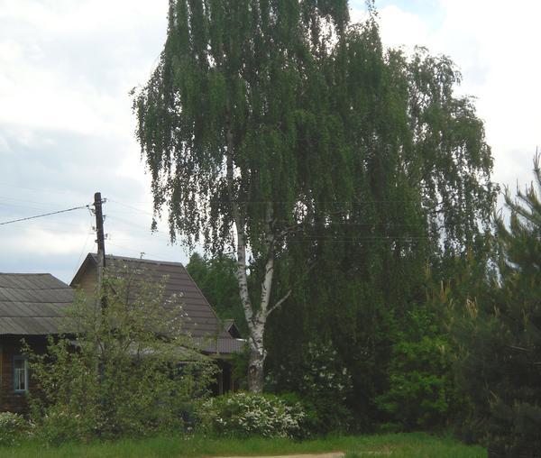 Лесные деревья на дачном участке