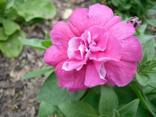 Первые петунии начали цвести