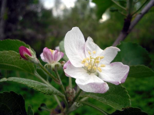 Молодые яблоньки полны сил и обильно цветут