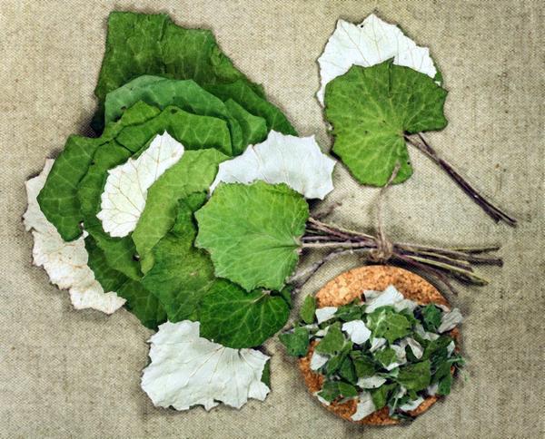 Листья мать-и-мачехи издревле используются для лечения кашля