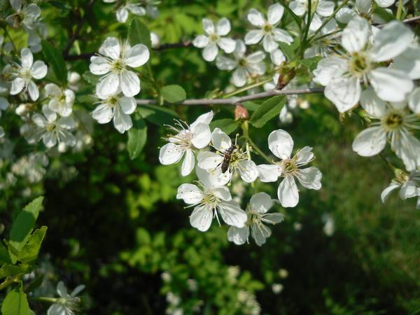 Вишни цветением порадовали