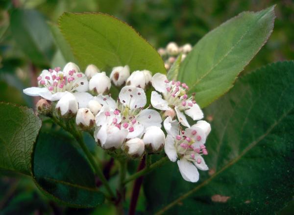 Распускаются цветки у черноплодной рябины