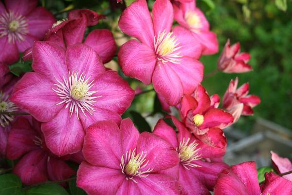 Яркий и продолжительно цветущий клематис не зря называют королем лиан