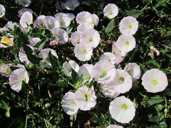 Вьюнок полевой - злостный огородный сорняк, обладающий полезными свойствами