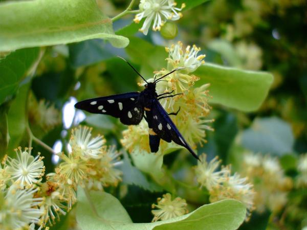 Цветущая липа привлекает насекомых