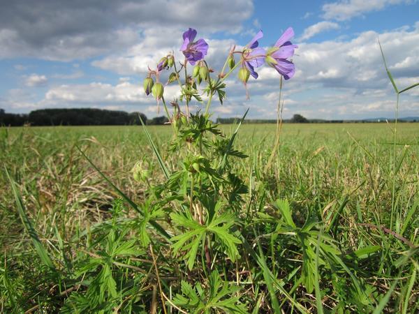 Траву герани луговой заготавливают во время цветения