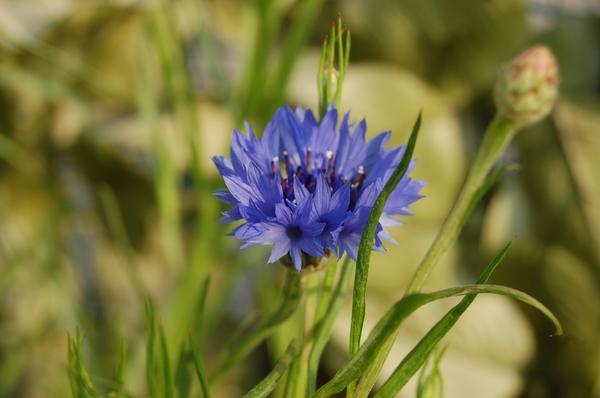Василек синий - и сорняк, и декоративное растение, и природный целитель