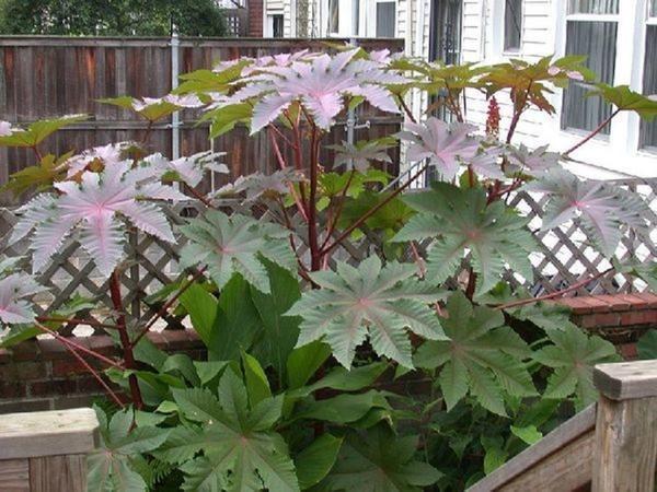 Выращивая в саду клещевину, не допускайте образования семян. Фото пользователя Exspert (Татьяна)