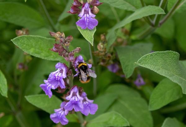 В старину считалось, что растущий в саду шалфей дарит здоровье и долголетие
