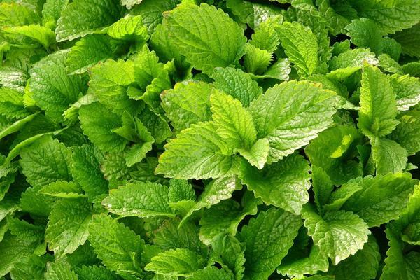 Применение мелиссы при атеросклерозе: настой, настойка, чай, травяной сбор