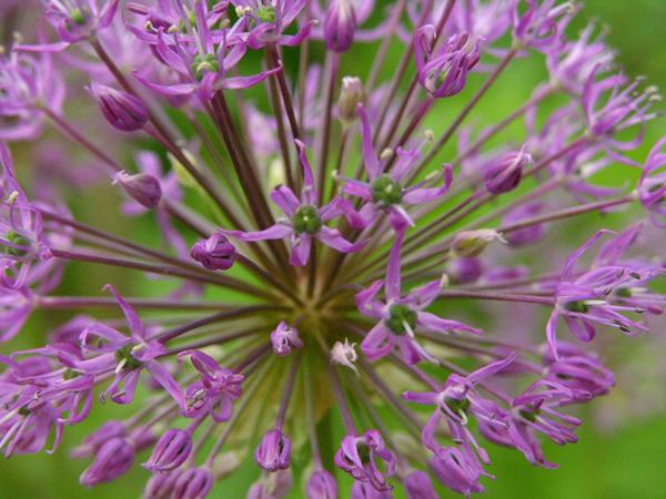 Лук Розенбаха (A. rosenbachianum) часто продается под народным названием 'Салют, Мария'