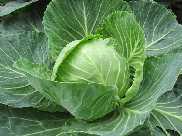 Капуста - овощ не просто полезный, а целебный