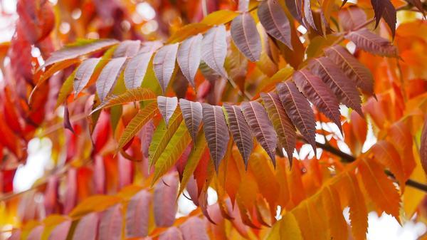 Осенний сумах, яркий и красивый