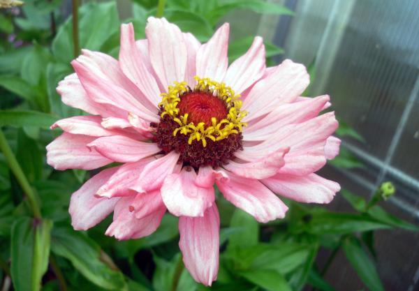 Ну какой еще цветок так же красив и неприхотлив?