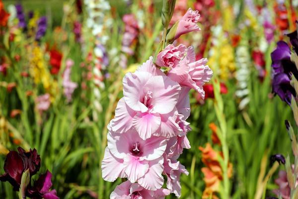 Гладиолусы - яркие и выразительные цветы