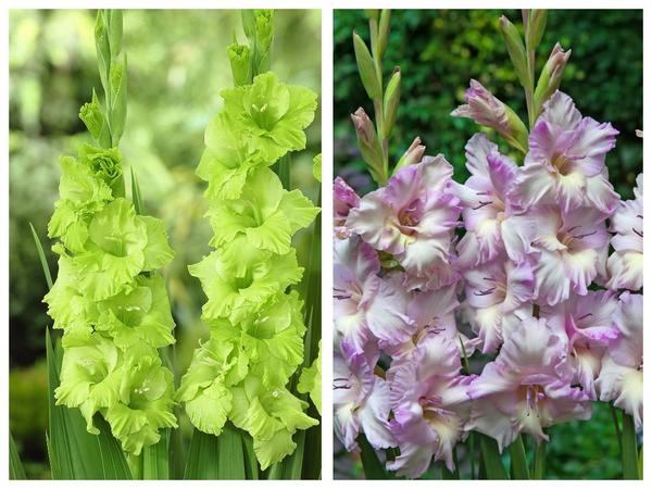 Крупноцветковые гладиолусы 'Эвергрин' ('Evergreen') и 'Леди Джейн' ('Lady Jane')