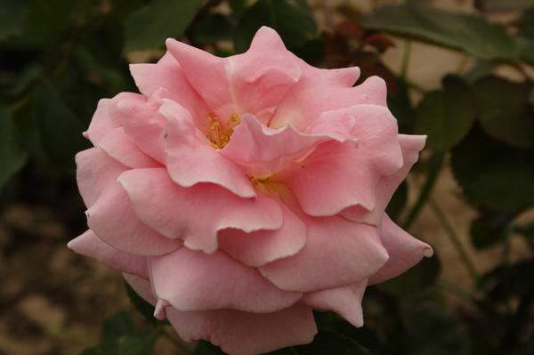 'Frederic Mistral' - все ароматы Прованса в одной розе