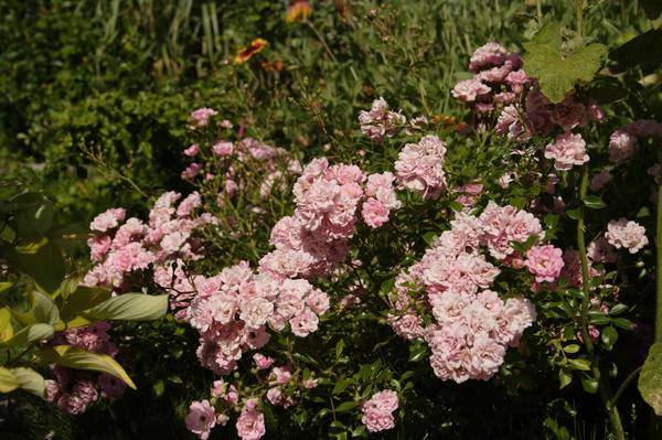 'Bonica-82' - фантастически обильное цветение