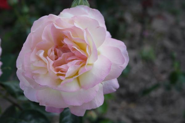 Роза 'Madame A. Meilland' - шедевр Френсиса Мейяна