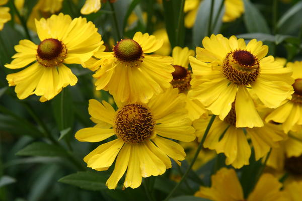 Осенние сады без цветущих гелениумов стали бы гораздо беднее