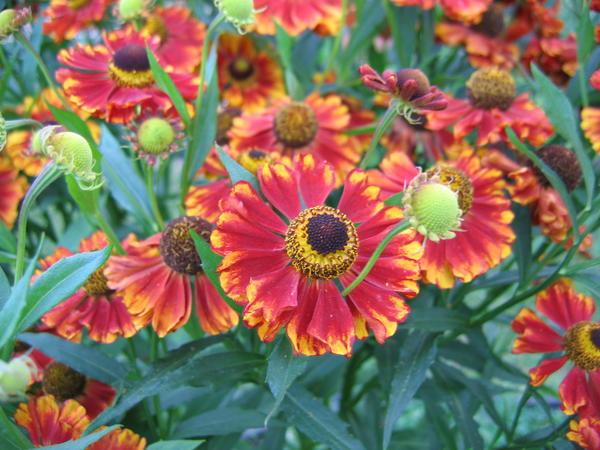 Палитра гелениума включает все теплые цвета спектра - от пурпурно-красных до солнечно-желтых