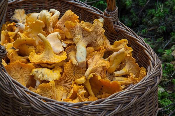 Лисички - грибы целебные