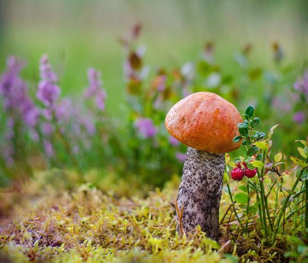 Подосиновик - очень распространенный гриб, обладающий множеством полезных свойств
