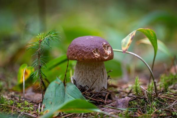Его зовут царем грибов