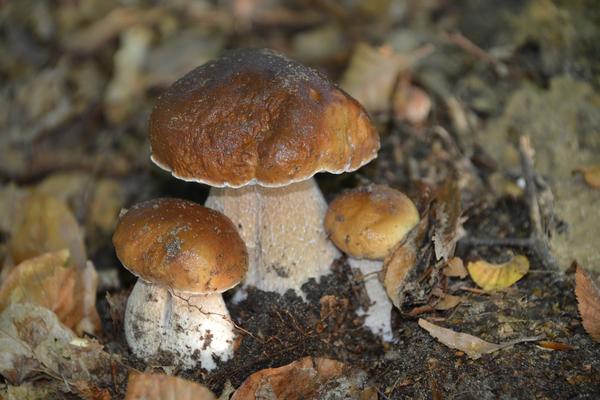 Белые грибы: полезные свойства и применение