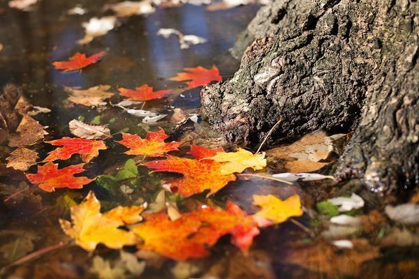 По опадающим листьям судили не только о грядущей зиме