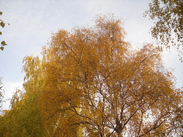 Солнце заблудилось в ветвях берез