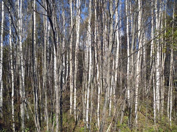 Лес уже стал прозрачным, сквозь ветви деревьев виднеется небо...