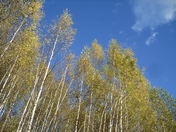 На макушках берез в перелесках еще золотится листва