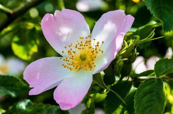 Целебными свойствами обладают все части растения