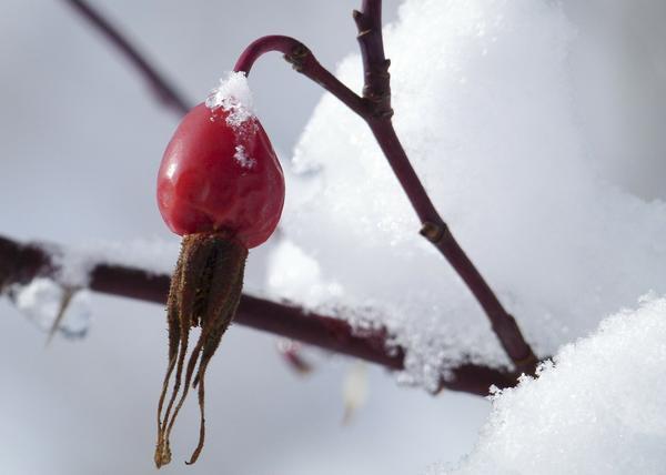 На верхушке плода у шиповника коричного сохраняются чашелистики