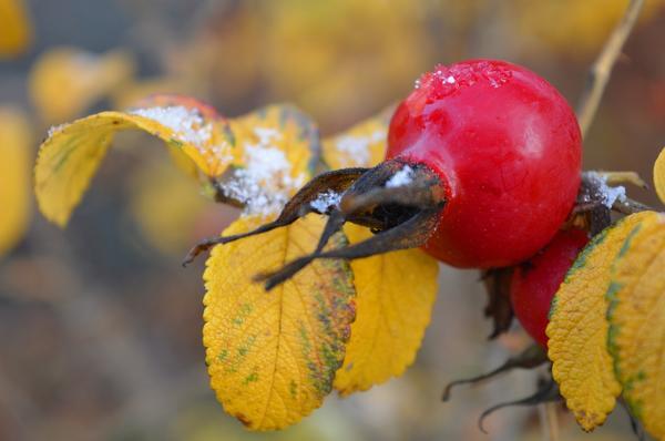Плоды шиповника издавна применяются в качестве лекарственного сырья