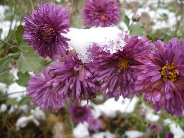 Хризантемы цветут до глубокой осени, до самого снега