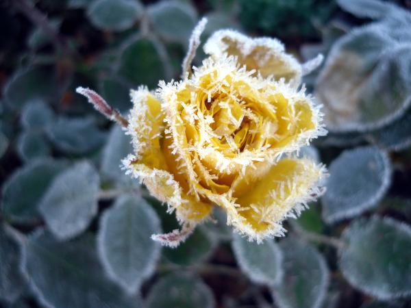 Роза не так беззащитна, как принято думать. Так надо ли ее укрывать на зиму?