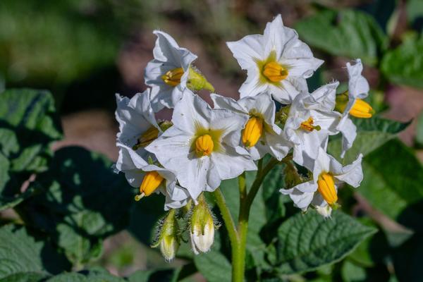 Из цветков картофеля делают настойку для наружного применения