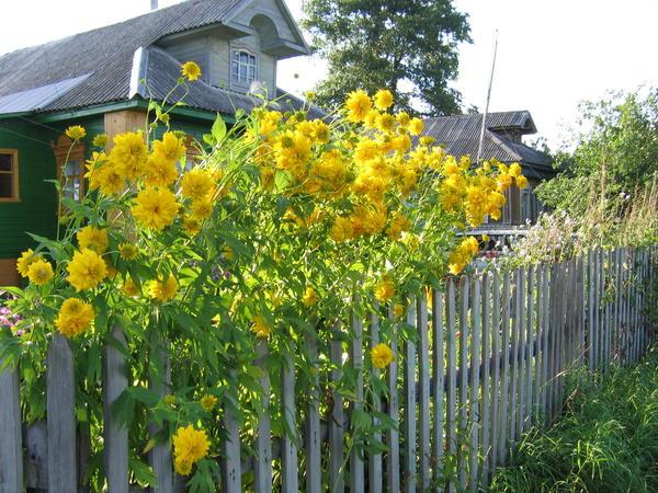 Рудбекия рассеченная, золотые шары - непременная деталь русского сада