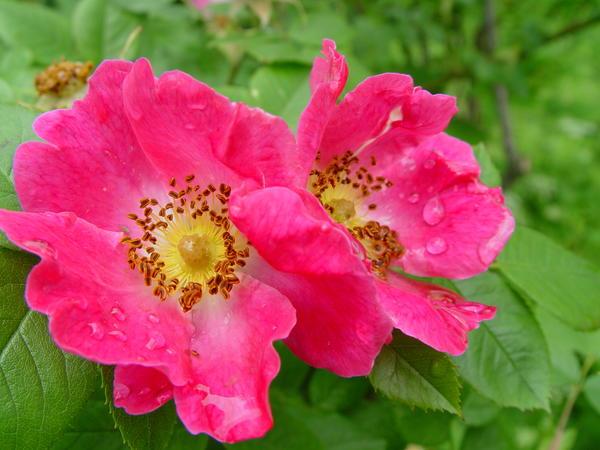 Шиповник французский (Rosa gallica), цветы