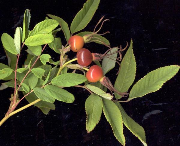 Шиповник даурский (Rosa davurica), плоды