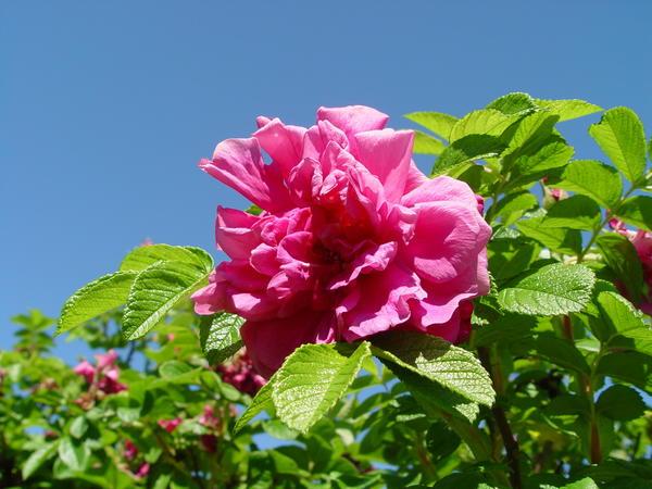 Наверное, все любят розы. А вот о шиповниках мы вспоминаем редко. Rosa rugosa, махровая форма