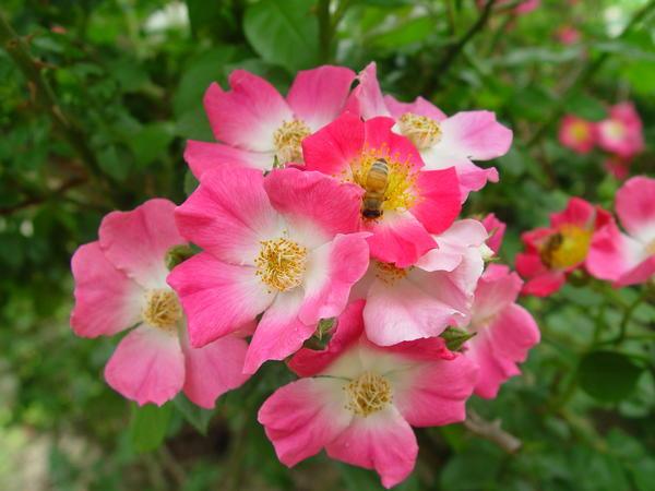 Некоторые шиповники отличаются обильным продолжительным цветением. Rosa multiflora