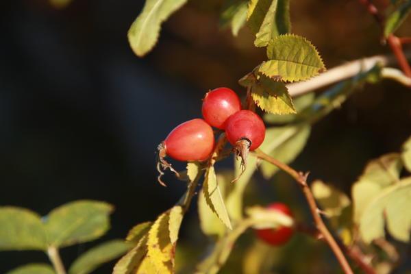 Шиповник можно выращивать на участке или заготавливать плоды дикорастущих видов